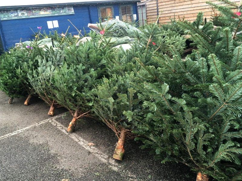 Reserve your Christmas Tree at Bumbles