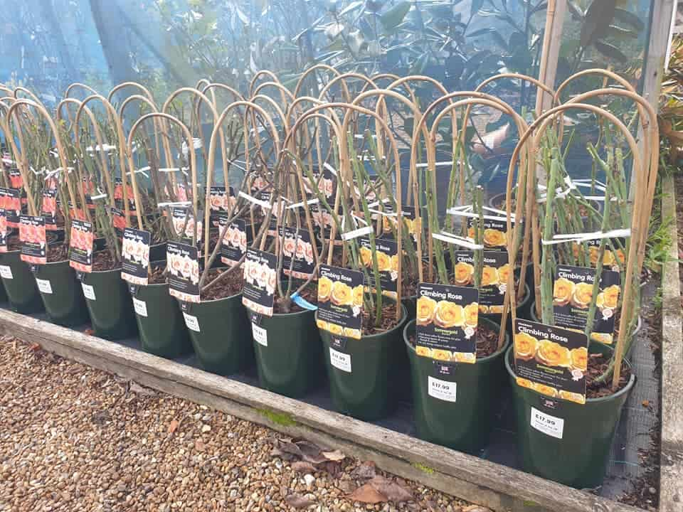 Climbing roses for winter planting at Bumbles, November 2020