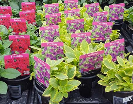 Trailing Surfinia at Bumbles Plant Centre