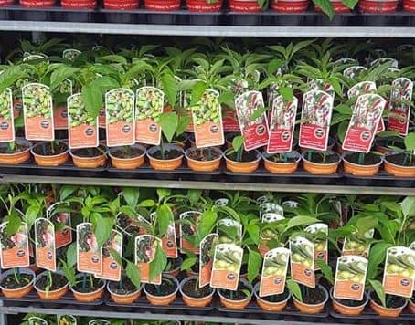 Trailing Geranium at Bumbles Plant Centre