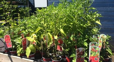 Chilli Pepper plants on offer at Bumbles Plant Centre