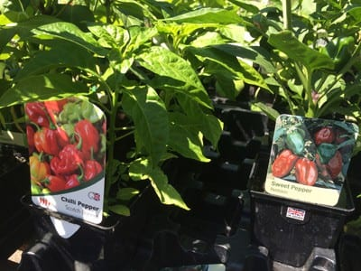 Chilli & Sweet Pepper plants on offer at Bumbles Plant Centre