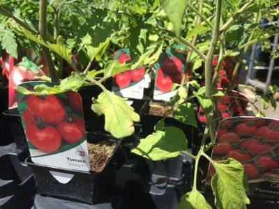 Tomato plants on offer at Bumbles Plant Centre