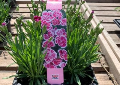 Dianthus pink kisses in at Bumbles