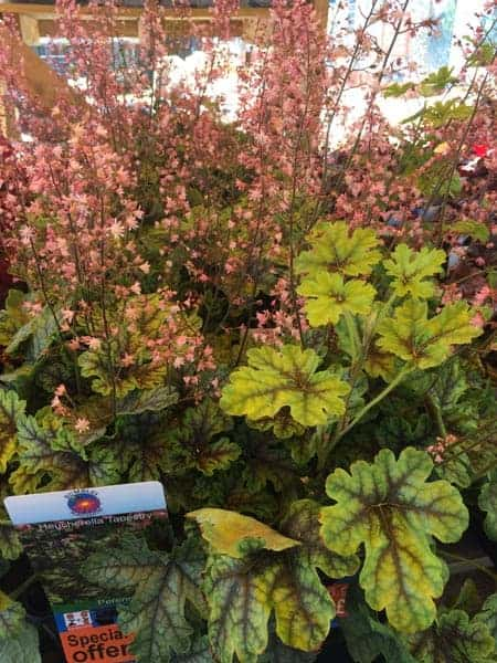 Vegetable plants on special offer at Bumbles