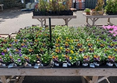 Violas for autumn bedding and baskets at Bumbles