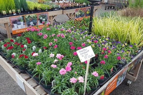 Dianthus - great autumn colours available at Bumbles Plant Centre