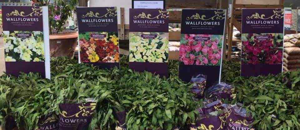Bare Root Wallflowers available from next Thursday!