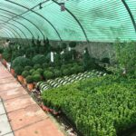 Evergreen Buxus hedging plants at Bumbles, November 2020