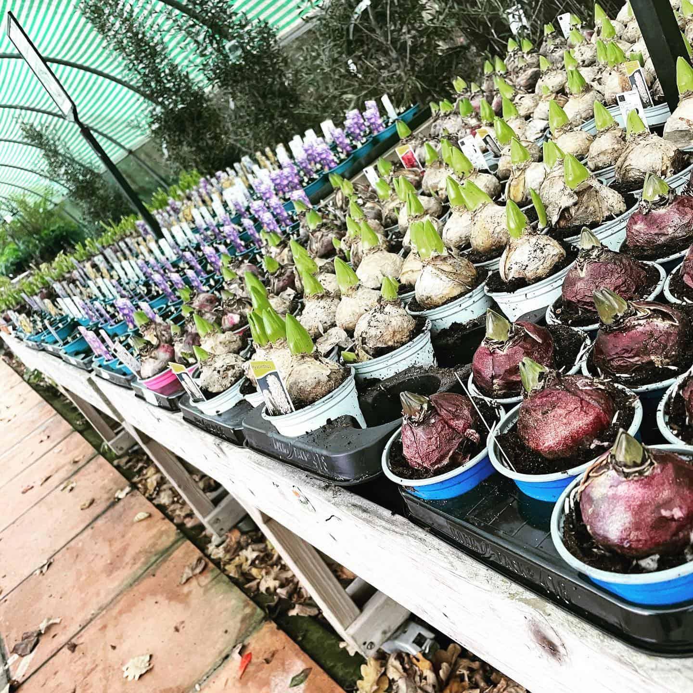 Hyacinth bulbs in at Bumbles, November 2020