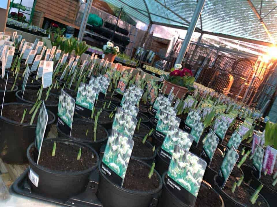 Spring bulbs in at Bumbles Plant Centre