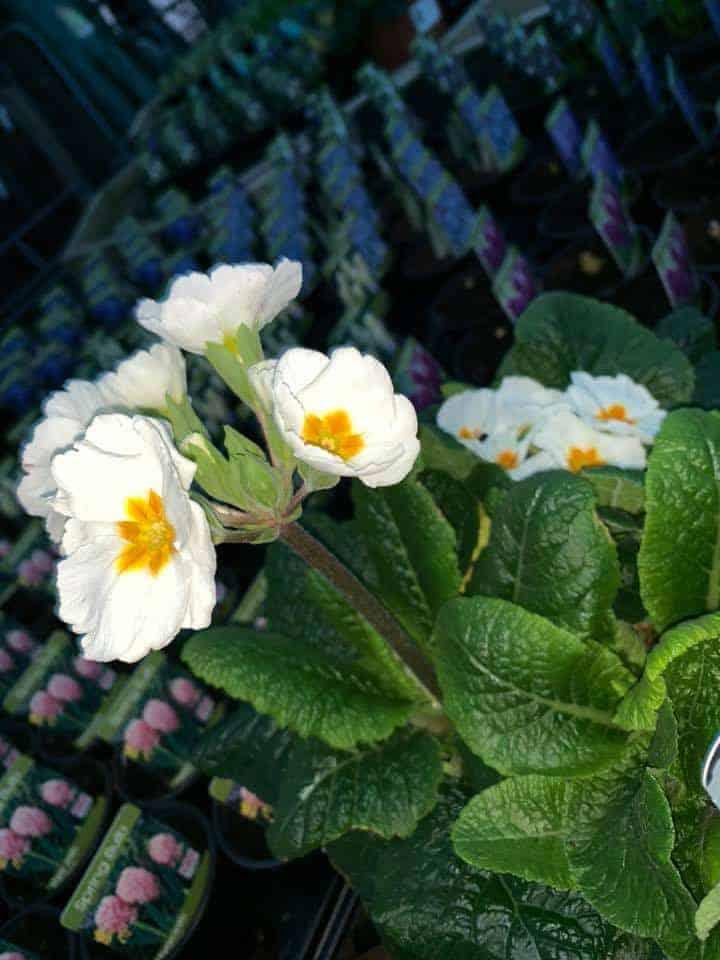 Primulas and Polyanthus at Bumbles PLant Centre