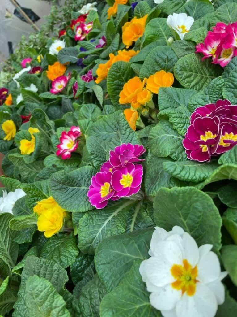 Colourful selection of Primulas at Bumbles, November 2020
