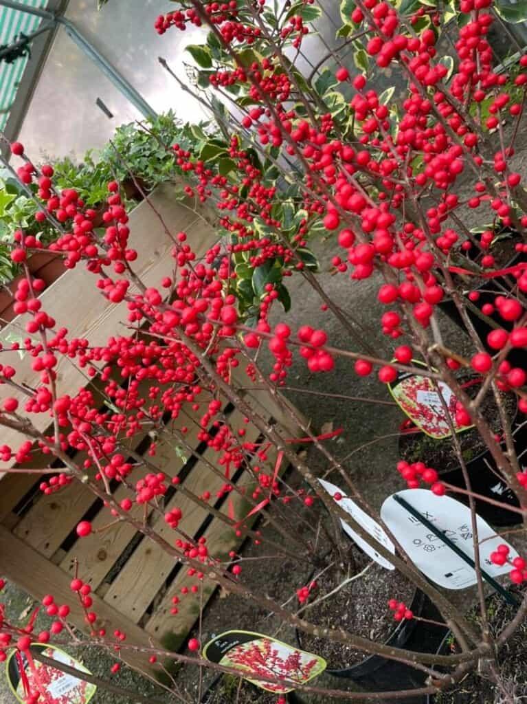 Bright Winterberry at Bumbles, November 2020