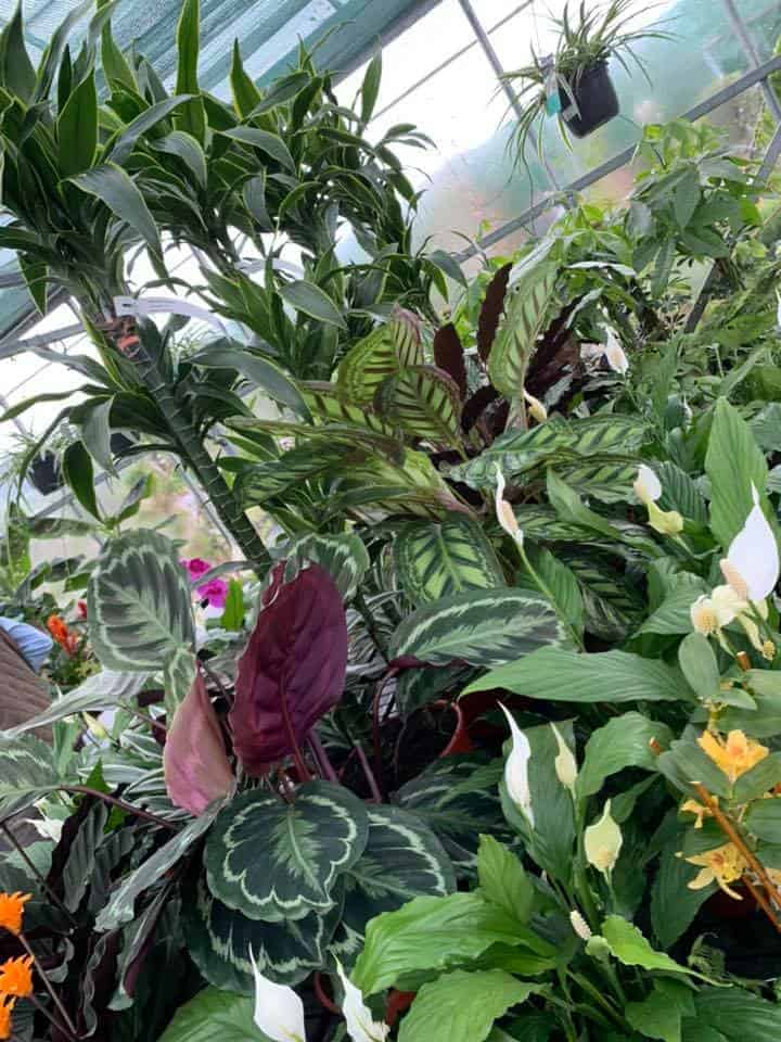 New houseplants in the greenhouse at Bumbles Plant Centre