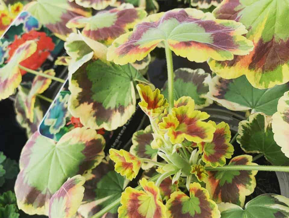 Geranium bedding plants at Bumbles Plant Centre