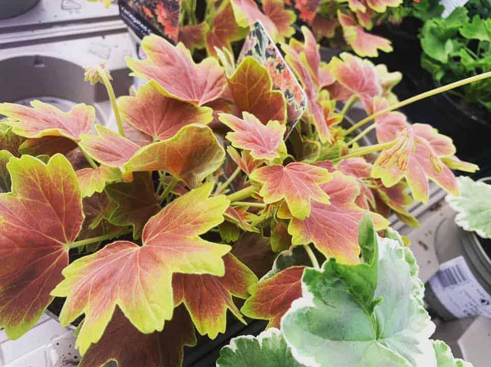 Lovely range of geranium bedding plants at Bumbles Plant Centre