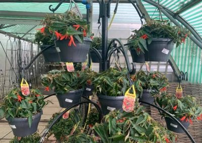 Hanging baskets at Bumbles Plant Centre