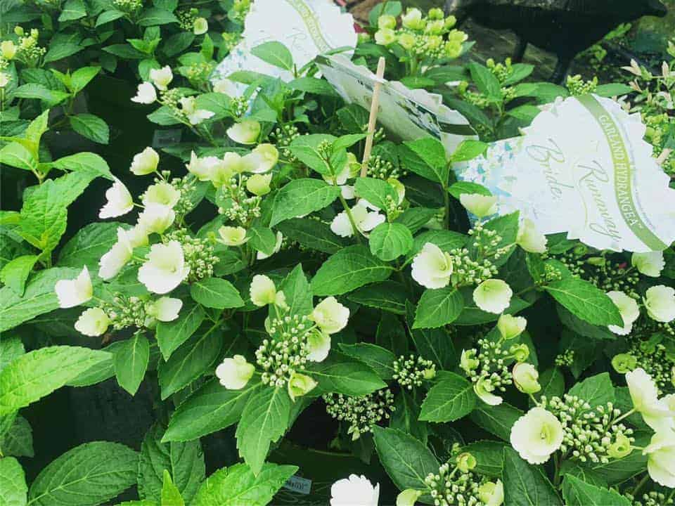 Hydrangeas in the polytunnel at Bumbles Plant Centre