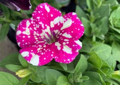 Beautiful Petunias at Bumbles Plant Centre
