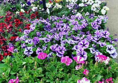 Lots of lovely petunias at Bumbles Plant Centre