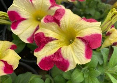 Petunias at Bumbles Plant Centre