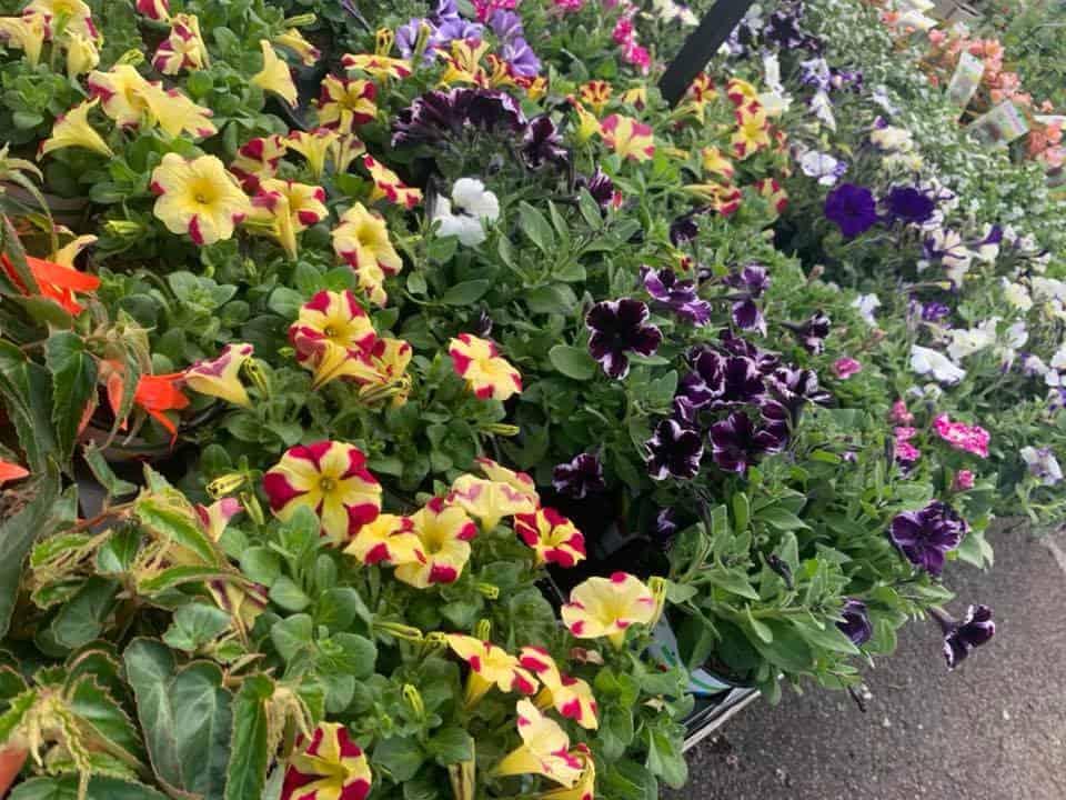 Petunia bedding plants at Bumbles Plant Centre