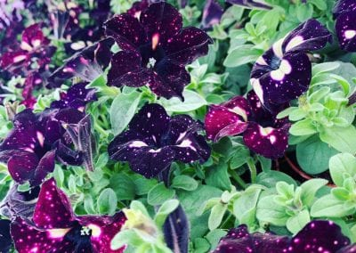 Petunia night sky bedding plants at Bumbles