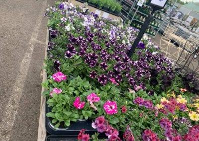 Lots of petunia varieties at Bumbles Plant Centre