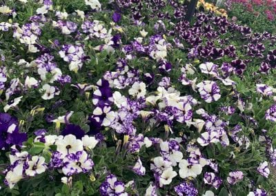Petunia Night Sky and more at Bumbles Plant Centre