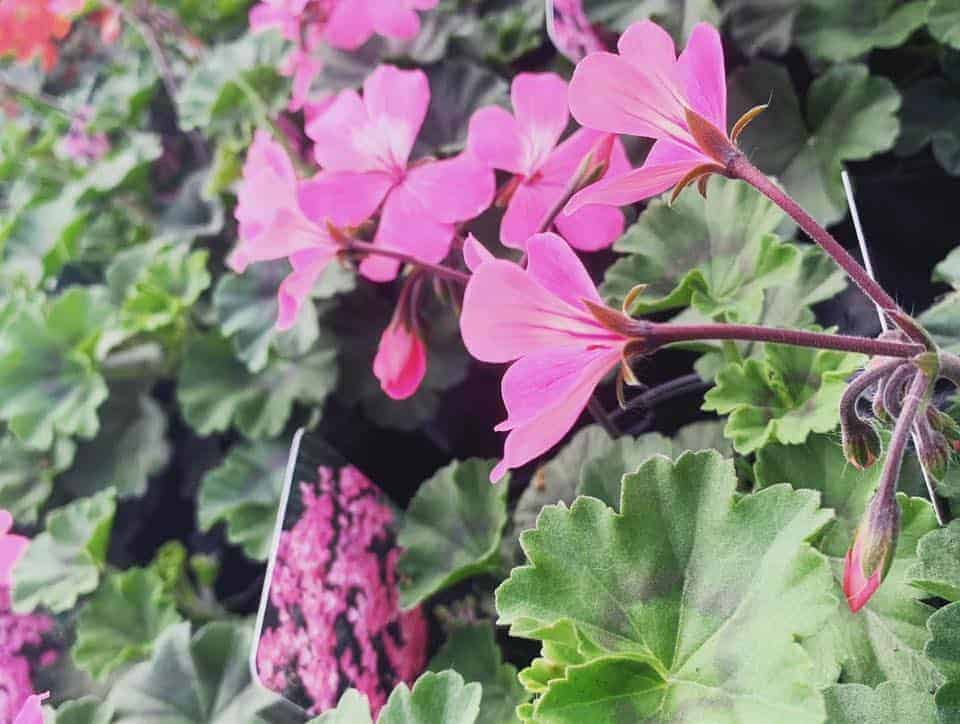 Pretty in Pink Geranium bedding plants at Bumbles Plant Centre