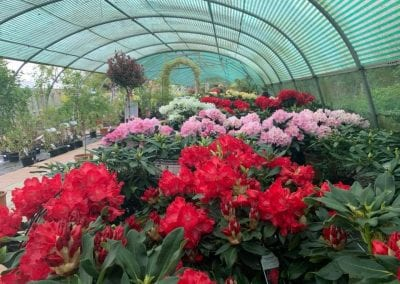 Rhododendrons in the polytunnel at Bumbles Plant Centre