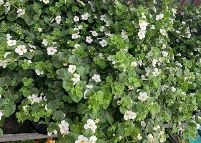 Spring bedding plants in at Bumbles Plant Centre