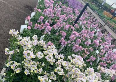 Spring bedding in at Bumbles Plant Centre