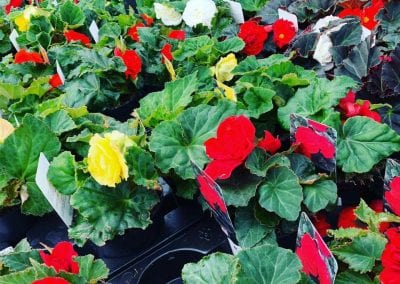 Summer bedding plants at Bumbles Plant Centre