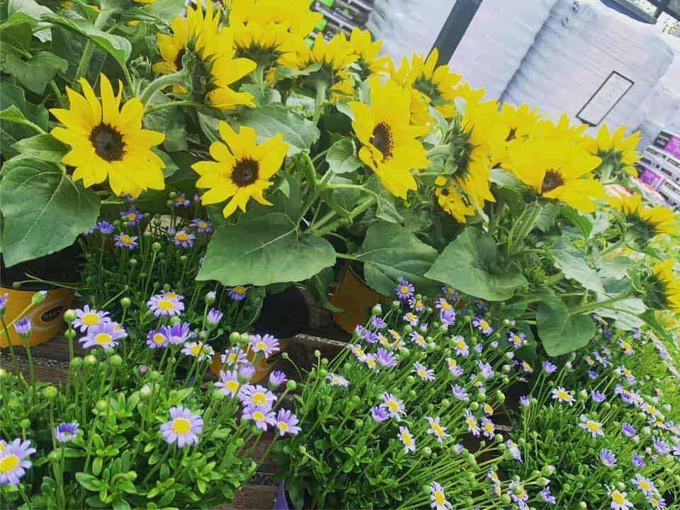 Sunflowers ready potted at Bumbles Plant Centre