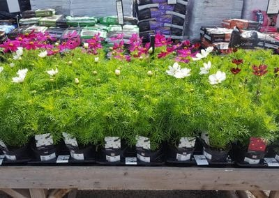 Cosmos Casanova in 1 litre pots at Bumbles