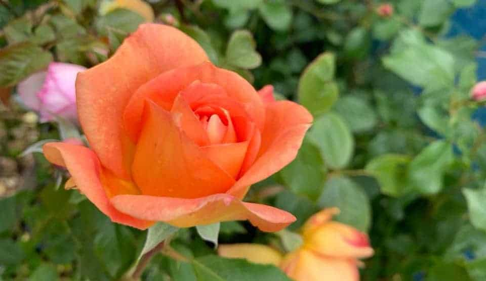 Autumn Rose, Tree and Shrub offer!