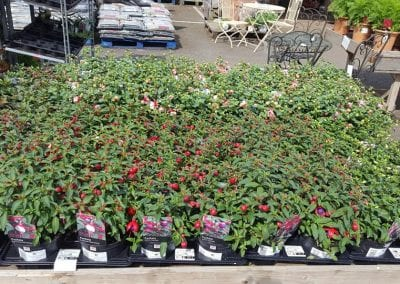 Fuschia Fuchsita Series at Bumbles Plant Centre
