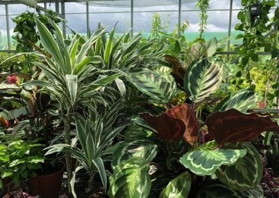 Indoor plants in the glasshouse at Bumbles Plant Centre