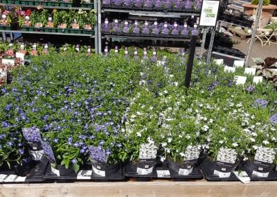 Lobelia Techno bedding plants at Bumbles Plant Centre