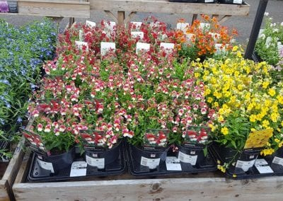 Nemesia Sunsatia varieties Cherry on Ice and Banana Split at Bumbles Plant Centre