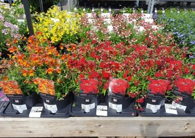 Nemesia varieties Little Orange and Little Cherry available at Bumbles