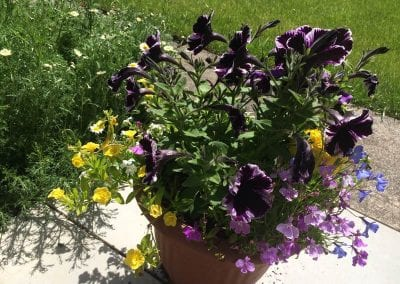 Deep petunias look really striking in this patio pot, late June
