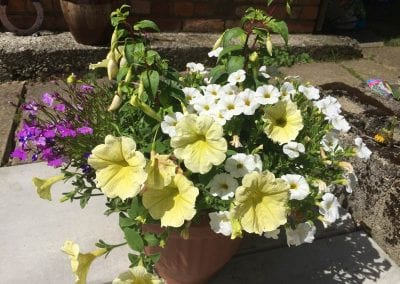 Trailing Pastel Yellow Petunia features in this patio pot, late June 2019