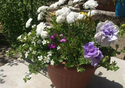 Flowering well, this pot includes Tumbelina Maria, double petunia along with Argyranthemum Molima Double White, late June