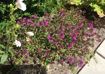 Creeping red thyme coming into flower, late June 2019