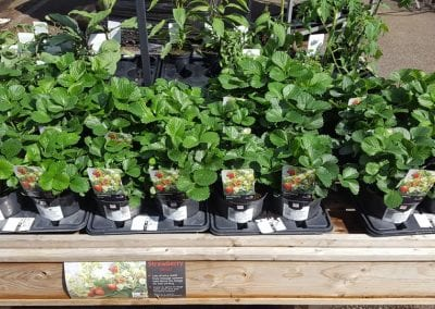 Strawberry Delizz plants available at Bumbles