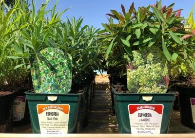 Euphoribas Black Pearl and x Martinii Perennials at Bumbles Plant Centre