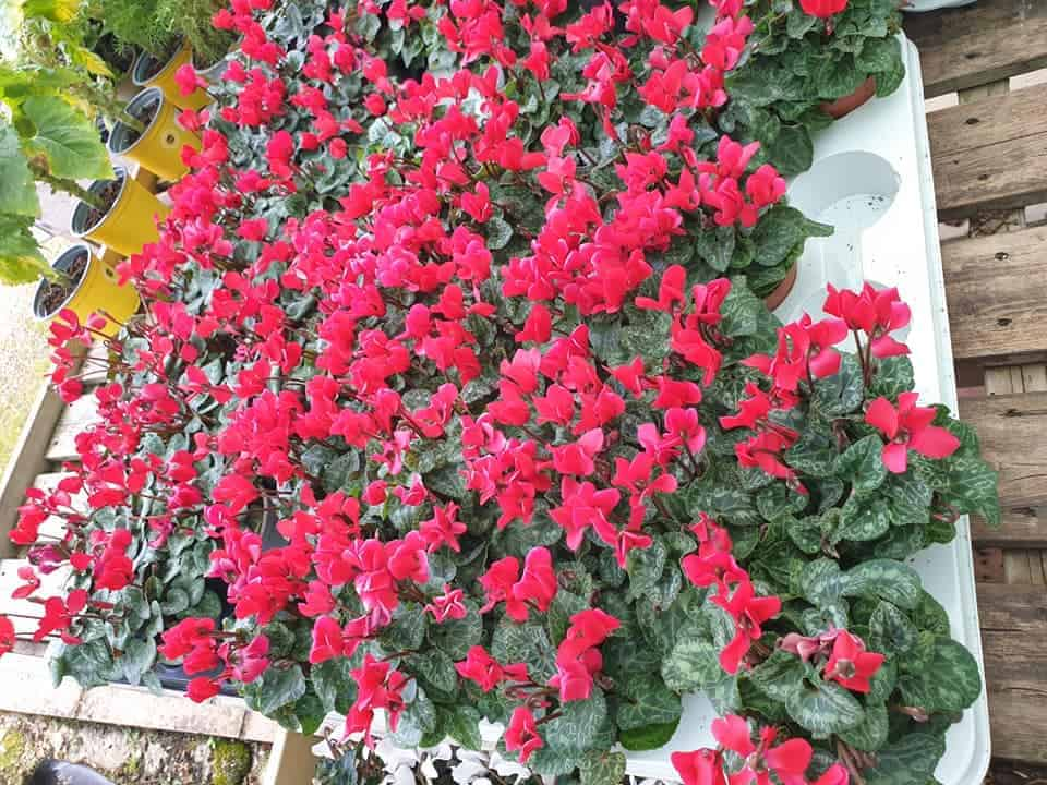 Red Cyclamen, autumn & winter plants at Bumbles, September 2020